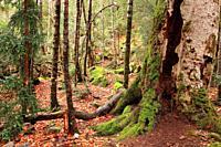 Forest in the Ordesa valley. Ordesa y Monte Perdido national park. Huesca.