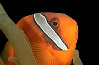 Male Tomato anemonefish, Amphprion frenatus, Puerto Galera, Oriental Mindoro, Philippines, Pacific.