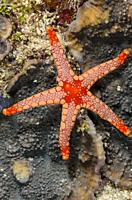 Peppermint sea star, Fromia monilis, Verde Island, Batangas, Philippines, Pacific.