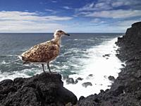 Young Seagull on lava rock, Surtsey Island, Westman Islands, Iceland.