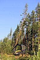 Ponsse Scorpion forest machine operator is cutting and sawing a pine tree at forest logging site on a sunny day. Jyvaskyla, Finland - August 24, 2018.