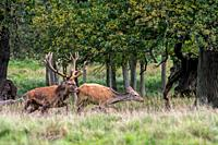 Red deer (Cervus elaphus) stag chasing hind / female in heat in forest during the rut in autumn / fall