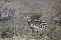 Cape Mountain Zebra, Karoo National Park, South Africa.