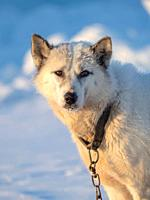 Sled dog during winter in Uummannaq in the north west of Greenland. Dog teams are still draft animals for the fishermen of the villages. North America...