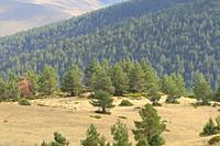 Pine forest at Najerilla Valley, Rioja Region, Spain.