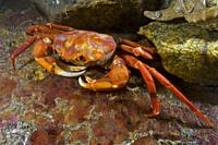 Deep sea red crab (Geryon affinis / Chaceon affinis). Eastern Atlantic. Galicia. Spain. Europe.