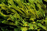 Brown seaweeds. Brown Fan Weed. Divided Net Weed (Dictyota dichotoma). Eastern Atlantic. Galicia. Spain. Europe.