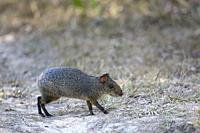 Azaraâ. . s Aguti (Dasyprocta azarae), adult walking on ground, Pantanal, Mato Grosso, Brazil.
