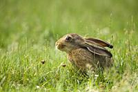 European Brown hare (Lepus europaeus) sitting in a meadow, Germany.