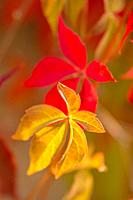 wild vines leaves at an old wall in autumnal colors.