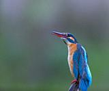Common kingfisher or Eurasian kingfisher (Alcedo atthis). Sierra de San Pedro, Caceres Province, Spain