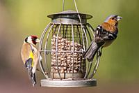 A male chaffinch and a Goldfich on a feeder in a Uk garden.