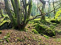Tree trunks and moss covered rocks in Guisecliff Wood in autumn Pateley Bridge North Yorkshire England.