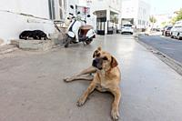 Stray dog on pedestrian walkway in Bodrum, Turkey.