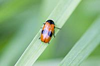 Clytra laeviuscula, a bright red or orange beetle with two large black patches and two black shoulder spots found in limestone grasslands. 7. 5-11. 5 ...