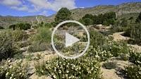 Jarilla blanca (helianthemum cinereum). Microrreserva Arenales de Caudete. Caudete. Albacete. España