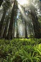 Breaking through the Clouds in Prarie Creek Redwoods State Park CA.