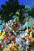 Colorful reef overgrown with corals and plants and Honeycomb oyster (Hyotissa hyotis), Indian Ocean, Maledives, South Asia.