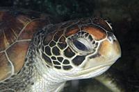 Green Turtle (Chelonia mydas), Tasi Tolu dive site, Dili, East Timor (Timor Leste).
