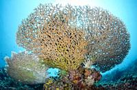 Coral (Acropora sp) underside with sun in background, Beach House dive site, Atauro Island, East Timor (Timor Leste).