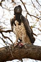 Martial Eagle (Polemaetus bellicosus) perched on branch with prey, a Vervet monkey (Cercopithecus aethiops) South Luangwa National Park, Zambia.