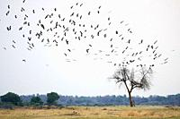 Abdim's stork (Ciconia abdimii) flock on migration arriving to South Luangwa National Park in november for rainy season, Zambia.