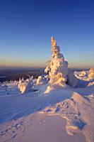 Snow-covered Norway spruce trees (Picea abies). Brocken (Mountain), National Park Hochharz, Saxony-Anhalt, Germany, Europe.