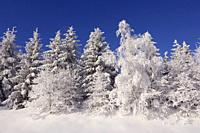 Snow covered trees. Black Forest, Baden-Wuerttemberg (Baden-Wurttemberg), Germany, Europe.