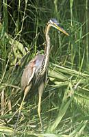 Purple Heron (Ardea purpurea). Hunting in the reed of a bank slope at a canal. Ebro Delta Nature Reserve, Tarragona province, Catalonia, Spain.