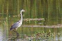 Grey Heron (Ardea cinerea). Hunting in a lagoon. Ebro Delta Nature Reserve, Tarragona province, Catalonia, Spain.