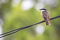Great Kiskadee (Pitangus sulphuratus) perched on wire. Caño Negro Wildlife Refuge. Alajuela province. Costa Rica.