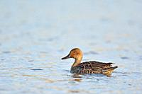 Pintail or Northern Pintail (Anas acuta), Crete