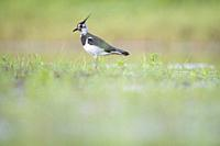 Northern Lapwing (Vanellus vanellus) adult in breeding plumage. Latvia.