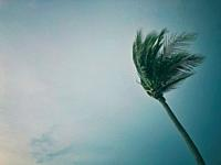 Top of a palm tree in the wind.