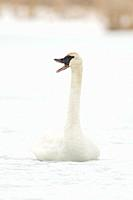 Trumpeter Swan / Trompeterschwan ( Cygnus buccinator ) in winter, sitting on the ice of a frozen river, calling, trumpeting, Grand Teton, Wyoming, USA...