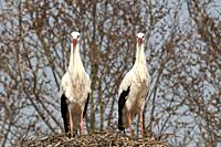 White Stork (Ciconia ciconia), France.