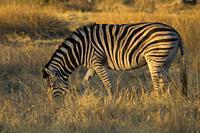 Burchell's Zebra (Equus quagga burchelli), Okavango Delta, Moremi Game Reserve, Botswana.