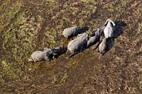 African Elephants (Loxodonta africana), in the freshwater marsh, aerial view, Okavango Delta, Botswana. . The Okavango Delta is home to a rich array o...