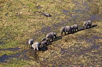 African Elephants (Loxodonta africana), roaming in a freshwater marsh, aerial view, Okavango Delta, Botswana. . The Okavango Delta is home to a rich a...