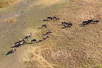 Aerial view of blue wildebeest (Connochaetes taurinus), Okawango Delta, Botswana. The Okavango Delta is home to a rich array of wildlife . Elephants, ...