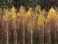 Poland. Autumn Birches