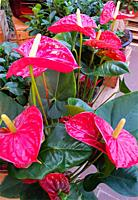 anthurium plant and flowers in a Garden center. The anthurium plant is grown as a houseplant in cooler areas and as a landscaping plants. Barcelona. E...