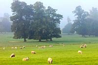 England, Buckinghamshire, Stowe, Stowe Landscape Gardens, Sheep in Field