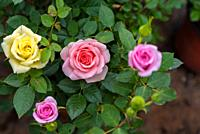 Top view of colorful small different color roses blooming in natural garden.