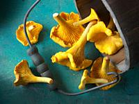 Fresh picked wild organic chanterelle or girolle Mushrooms (Cantharellus cibarius).