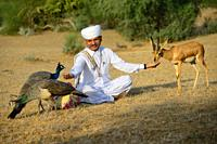 India, Rajasthan, Jodhpur region, Bishnoi devotee feeding a peacock and a wild Chinkara (Indian gazelle). . . Bishnoi farmers are supposed to give 10 ...