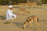 India, Rajasthan, Jodhpur region, Bishnoi devotee in meditation before wild Chinkaras (Indian gazelles). .
