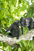 Asia, Indonesia, Celebes, Sulawesi, Tangkoko National Park, . Celebes crested macaque or crested black macaque, Sulawesi crested macaque, or the black...