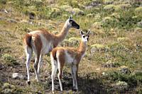 Chile, Magallanes, Torres del Paine, national park, guanacos, lama guanicoe, female and young chulengo,.
