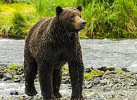 Female Grizzly just emerged from stream, Katmai National Park Alaska.